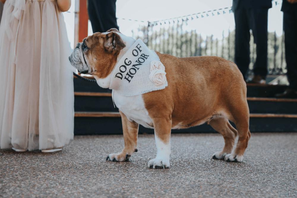 Dog wearing Dog of Honor bandana